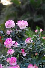 "LIVE ROSE PLANT  ""Princesse de Monaco"" COMPITTITION FLOWER - 6 INCH HEIGHT"