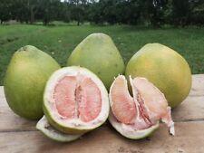"RARE Dwarf ""Citrus maxima '""Pink Pomelo Fruit Seeds Citrus Grandi 5 Finest seeds"