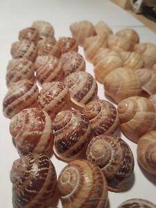 Shells mix - 25 shells Helix Pomatia and  25 shells Aspersa Muller