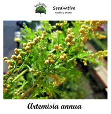 Ajenjo dulce - Artemisia annua - 2000 semillas - Medicinal - seeds - BIO
