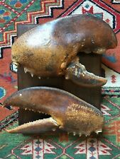 Mounted Large Lobster Claws Taxidermy Beautiful Real Taxidermy Lobster Claws