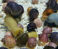 6 + 2 YOUNG MAGENTA PURPLE MIX MYSTERY SNAILS FRESH WATER AQUARIUM