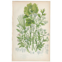 Anne Pratt antique 1st ed 1873 botanical print, Pl 92 Beaked Parsley