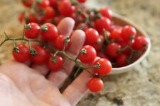 Matt's Wild Cherry Heirloom Tomato Seeds - Organic - 10 Seeds