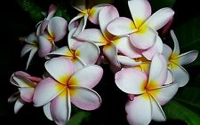 Beautiful Plumeria Cutting Rooted