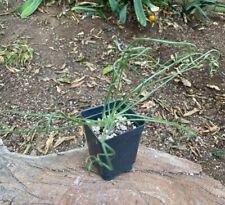 Nice A+ Albuca namaquensis Caudiciform Specimen Caudex Unusual Plant Succulent