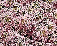 Alyssum Seeds Wonderland Pastel Pink Ground Cover 100 Seeds