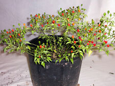 1 plant chili tepin . 1 planta de chile de monte  Special offer for a short time