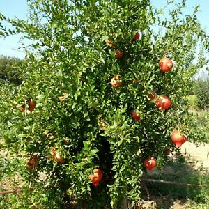 Punica granatum Der Granatapfel Baum - winterhart -34