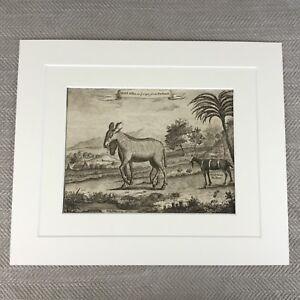 Antique Original Engraving Zoology Print 18th Century Nathaniel Parr  Zebra Goat