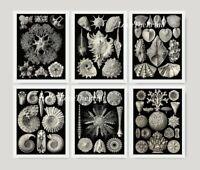 Unframed Sea Shells Print Set of 6 Antique Black and White Bathroom Wall Art