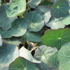 NASTURTIUM - BLUE PEPE (MICRO GREEN / SALAD LEAF) - 40 GRAM ~ APPROX 320 SEEDS