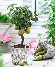 20Pcs Green Pear Gaint Orange Sweet Seeds Plant Organic Fruit Tree Home Garden