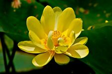 5 Graines Nelumbo nucifera Yellow Lotus, Sacred lotus Rare Seeds