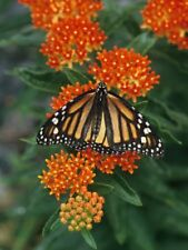 Buy 2 get 1 free Organic 25+ seeds Orange Milkweed Butterfly Bush Perennial