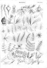Stampa antica botanica RADICI TUBERI FOGLIE FIORI particolari 1848 Old print