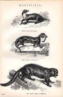 1880 Stampa ~Naturale Storia~ Mustelibae Pino Marten Otter Wolverine Glutton
