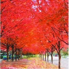 Beautiful Japanese Red Maple Tree Seeds 30pcs/bag Mini Bonsai Ornamental Plant