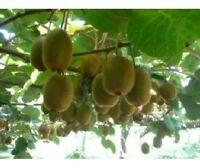 10 Mini Cocktail Kiwi Samen, selbstfruchtend, schnellwüchsig, eigene Kiwi Ernte