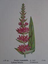 Original Print PURPLE LOOSESTRIFE / LADY'S BEDSTRAW British Wild Flowers 1941