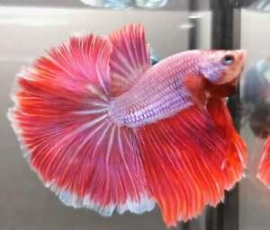 Vvip RARE! (Premium Live Betta Fish) : Male : Rosetail Pinky Sweetie