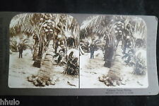 STB253 Cocoanut Palms cocotier palmier Photo STEREO albumen original