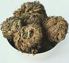 1 Rose of Jericho