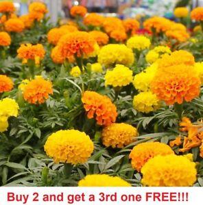 Marigolds Cracker Jack Mix Flower USA SELLER FREE SHIPPING