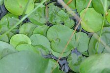 14x Froschbiss  freischwimmende  Miniseerose, Kleine Schwimmpflanze, Algenkiller