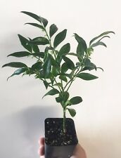 """10 Sarcococca ruscifolia, Very Fragrant Late Winter Flowers - 8"""" to 12"""" Tall"""