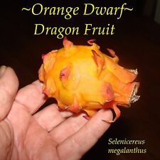~Orange Dwarf~ Dragon Fruit Selenicereus megalanthus Pitaya, Rare 10 Fresh Seeds