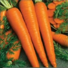 Carrot Seeds l Gmo Free l Imperator 58 Carrot Seed 200+ Seeds 85% Germination