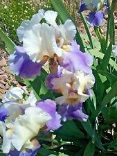 Tall Bearded Iris PLANNED TREASURE (bare rooted rhizome)