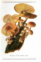 1913 GRAMBERG CHROMOLITHOGRAPH Mushrooms: enokitake, winter mushroom