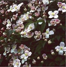 Flower - Clematis montana Pink - Perfumed forms - 15 Seeds