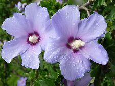 50 Purple Rose of Sharon Seeds