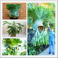 Platycerium Wallichii 100 Pcs Seeds Bonsai Flowers Plants Herbs Herb Garden New