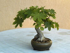 Norway Maple Acer platanoides bonsai trees seeds indoor outdoor Free Dispatch