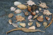Bulk Mixed Sea Shells -  Spider/ Cone / Snail etc Nice Lot