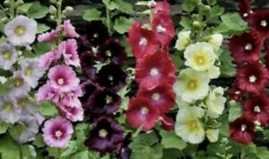 Hollyhock Mix Color🐞{50+Seeds}🐝Butterfly·Cut·Blooms All Summer·Annual·Flower