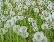 Dandelion Herb Heirloom Seeds 500+ Seeds Current Year will ship on next 2 days