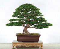 20 Seeds of podocarpus evergreen tree bonsai macrophyllus pine