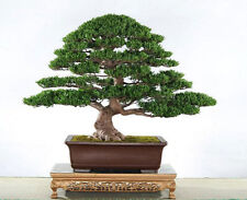 20 Seeds of podocarpus evergreen tree bonsai macrophyllus pine
