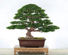 Sementi DI Podocarpus EVERGREEN Tree Bonsai macrophyllus