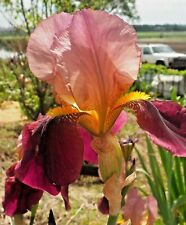 'Indian Chief' 1929 Old Fashioned Tall Bearded Iris Two Tone Pink 1 plant