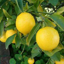 Organic Meyer Lemon Tree - 10 Seeds - Indoor Outdoor Garden Fruit Plant