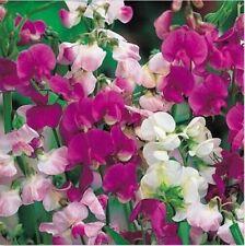 100 Pcs Mix Flower Seeds 100% Natural Sweet Pea Seed Plants  Garden Perennial