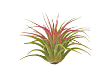 25 Tillandsia Ionantha Guatemala 25 wholesale Airplants