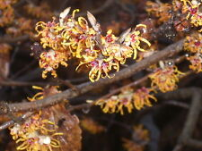 10 Vernal Witch Hazel Seeds - Hamamelis vernalis