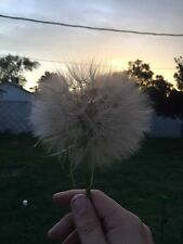 HUGE Dandelion Seed Meadow Salsify CANCER FIGHTING Organic Tragopogon Pratensis